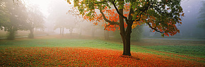 Maple tree above apron of fallen leaves in morning mist - p34811163 by Chad Ehlers