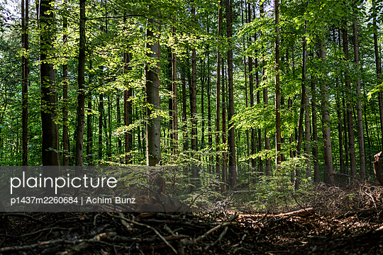Deciduous forest in the sunshine, Bavaria, Germany - p1437m2260684 by Achim Bunz