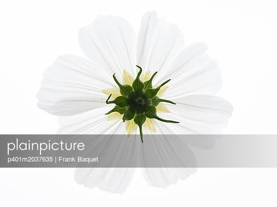 Kosmeenblüten Unterseite - p401m2037635 von Frank Baquet