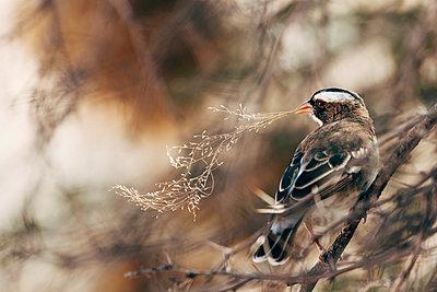 Webervogel mit einem Grashalm, Kalahari, Afrika - p1065m982607 von KNSY Bande