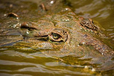 American Crocodile (Crocodylus acutus), Tarcoles River, Carara National Park, Puntarenas Province, Costa Rica - p871m2149875 by Matthew Williams-Ellis