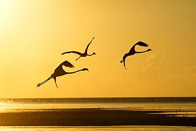 Flamingos im Sonnenuntergang - p1041m866127 von Franckaparis