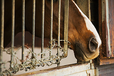 A thoroughbred bay horse with a white flash on its nose, at a stable door.  - p1100m1230839 by Mint Images