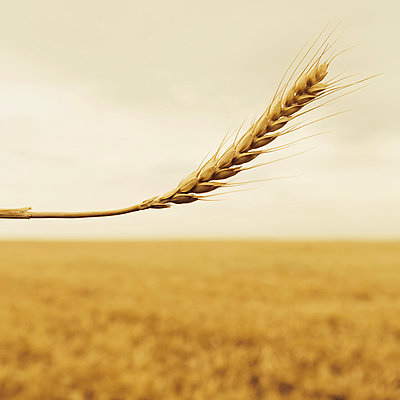 A stalk of wheat with a ripening ear at the top. A background of a ripening ear. A food crop in the background. - p1100m875907f by Paul Edmondson