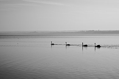 Germany, Bavaria, Swans in Lake Ammersee - p300m2213718 by Daniel Schweinert