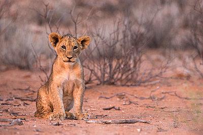 Lion cub (Panthera leo) - p871m861606 by Ann & Steve Toon