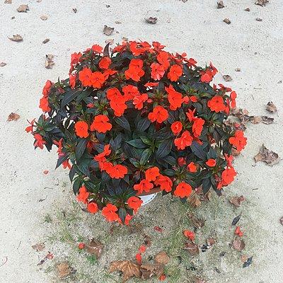 Rote Blumen im Blumentopf - p1401m2297868 von Jens Goldbeck
