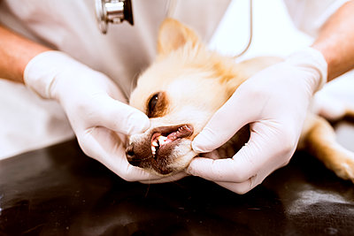Close-up of vet examining dog in clinic - p300m1469991 by HalfPoint