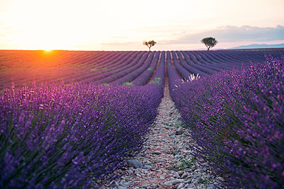 France, Alpes-de-Haute-Provence, Valensole, lavender field at sunset - p300m2023646 von Gemma Ferrando