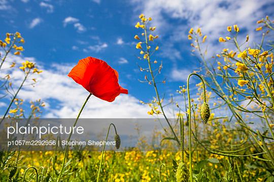 Poppy in a rape field - p1057m2292956 by Stephen Shepherd