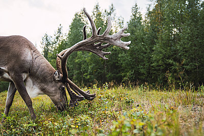 Finland, Lapland, reindeer grazing in rural landscape - p300m2060848 by Kike Arnaiz