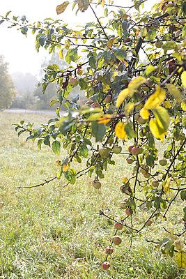 Apfelbaum am Morgen - p454m764423 von Lubitz + Dorner