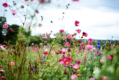 Field with flowers in France - p8870007 by Christian Kuhn