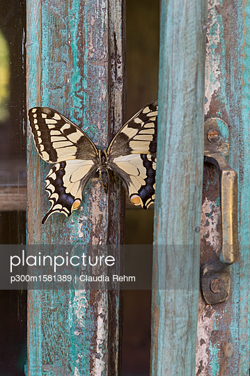 Painted blue wood, butterfly - p300m1581389 von Claudia Rehm