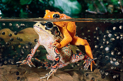Golden Toad pair spawning underwater - p884m864484 by Michael & Patricia Fogden