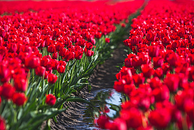 Germany, red tulip field - p300m2102518 by Anke Scheibe