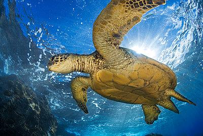 Hawaiian Green Sea Turtle (Chelonia mydas); Maui, Hawaii, United States of America  - p442m1578822 by Jenna Szerlag