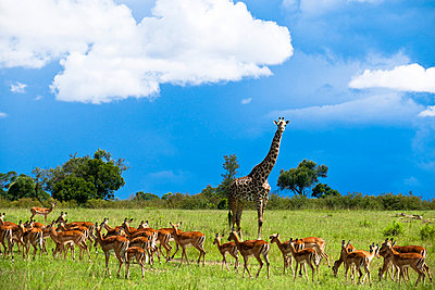 Giraffe and impalas - p5330454 by Böhm Monika