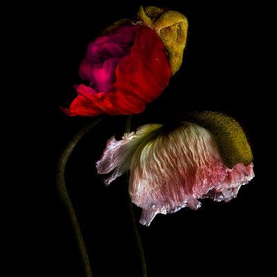 zwei Mohnblumen vor schwarzem Hintergrund - p6470124 von Tine Butter