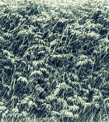 Snowflakes falling in front of a thuya hedge - p1682m2263427 by Régine Heintz