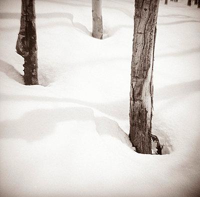 tree trunks in snow - p6942290 by Mark Katzman