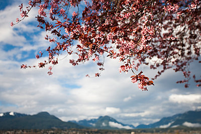 Cherry Tree Blossoms with Mountains in Background - p694m910724 by Eydis Einarsdottir photography