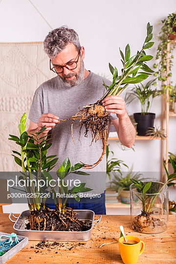 Man checking roots of Zamioculcas Zamiifolia plant while gardening at home - p300m2257226 by Retales Botijero