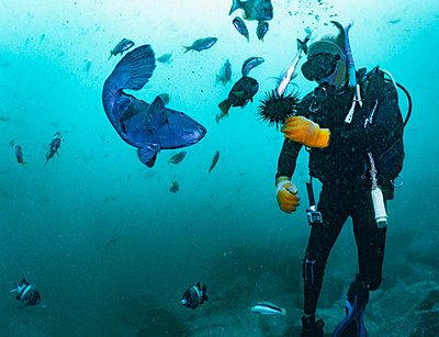 diver feeding fish with sea urchin at South West Rocks - p1166m2261617 by Cavan Images