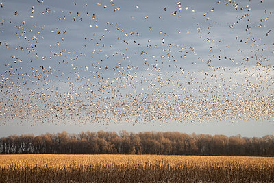 Thousands of Snow Geese blast off from a field - p1480m2148240 by Brian W. Downs