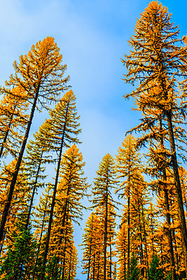 Autumn pine trees against blue sky - p555m1463758 by Eric Raptosh Photography