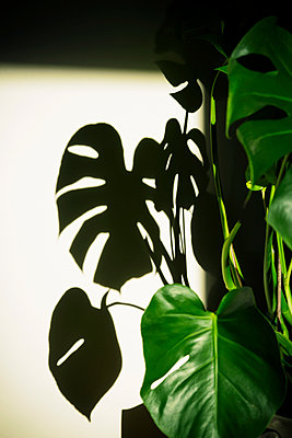 Philodendron, Monstera deliciosa - p1149m2183742 by Yvonne Röder