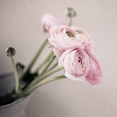 Ranunculus in Jug - p1470m1541296 by julie davenport