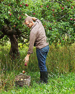 Man picking apples - p312m670274f by Matilda Lindeblad