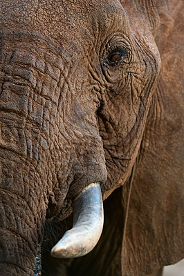 Close up portrait of an African elephant (Loxodonta africana), Tsavo, Kenya, East Africa, Africa - p871m1506392 by Sergio Pitamitz