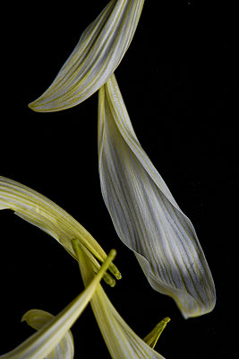 Blütenblätter - p947m1020653 von Cristopher Civitillo
