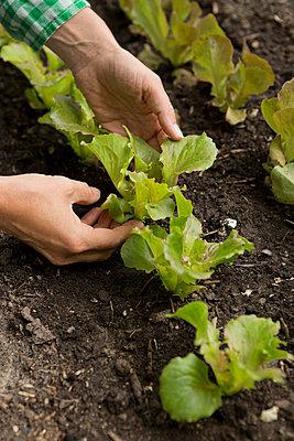 Head of lettuce - p454m939131 by Lubitz + Dorner