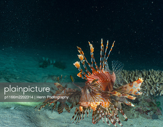 Lion Fish at night of the coast of Komodo Island in Indonesia - p1166m2202314 by Henn Photography