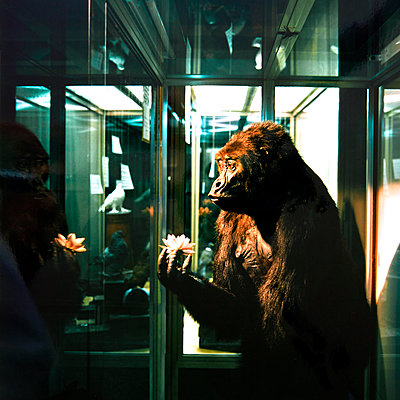 Gorilla, exhibit in a showcase, Museum of Natural Science - p1299m2284943 by Boris Schmalenberger