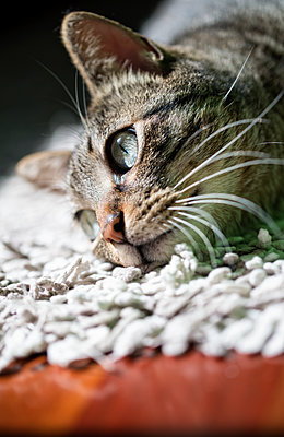 Portrait of tabby cat relaxing on a carpet at home - p300m1120759f by Ramon Espelt
