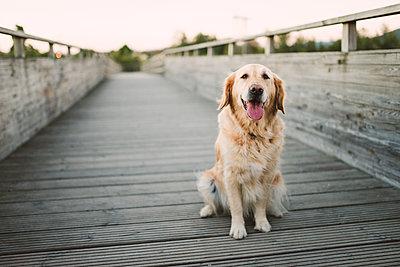 Portrait of a golden retriever dog sitting on wooden bridge - p300m2070709 von Ramon Espelt