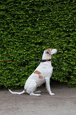 Obedient dog sits down - p304m1050975 by R. Wolf