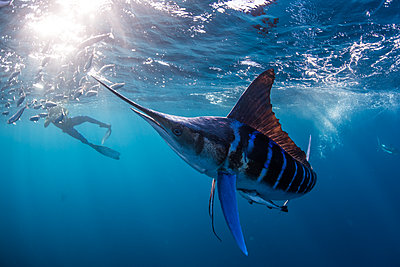 Striped marlin hunting mackerel and sardines, photographed by diver - p429m2068782 by Rodrigo Friscione
