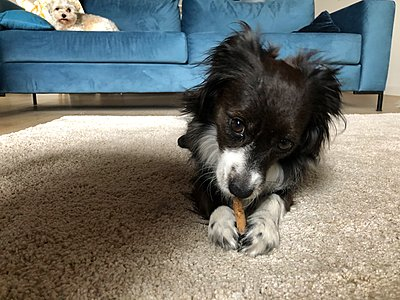 Adorable mini border collie chewing a toy while a habanese observes - p1166m2129594 by Cavan Images