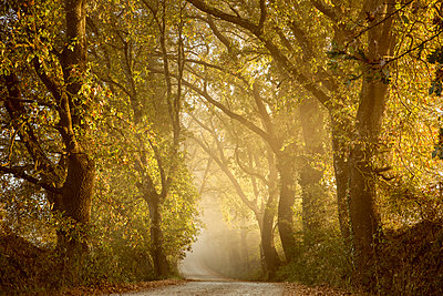 Italy, Tuscany, Val d'Orcia, tree-lined road in morning fog - p300m1206379 by Christina Falkenberg