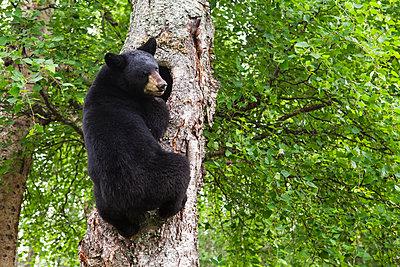 Adult Black bear climbing a tree, Southcentral Alaska, USA - p442m1217820 by Charles Vandergaw