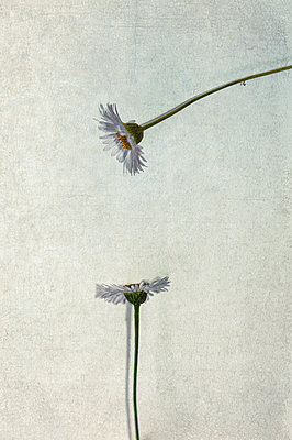Close-up of two daisies on textured background - p1047m2204350 by Sally Mundy