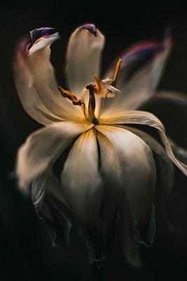 Macro image of a tulip - p1166m2088071 by Cavan Images