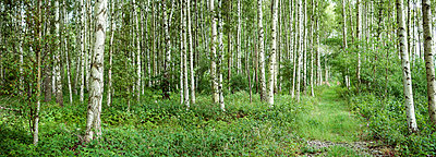 View over a birch forest Sweden - p5281689f by Johan Willner