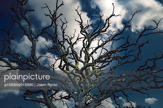 Silhouette of old leafless oak tree at moonlight - p1053m2015590 by Joern Rynio