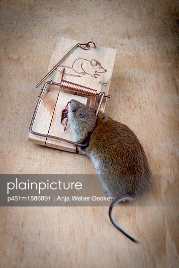 Tote Maus in Mausefalle - p451m1586891 von Anja Weber-Decker